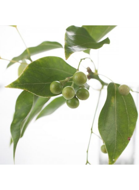 Wintergreen Flavor Extract Without Diacetyl, Organic