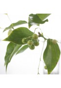 Organic Wintergreen Flavor Extract Without Diacetyl