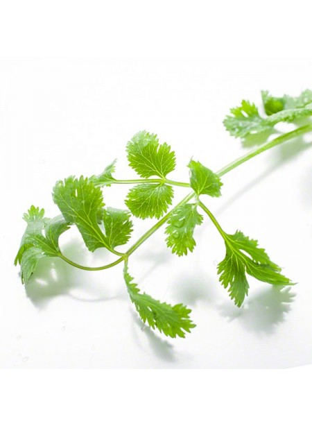 Cilantro Flavor Extract Without Diacetyl, Organic