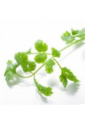 Organic Cilantro Flavor Extract Without Diacetyl
