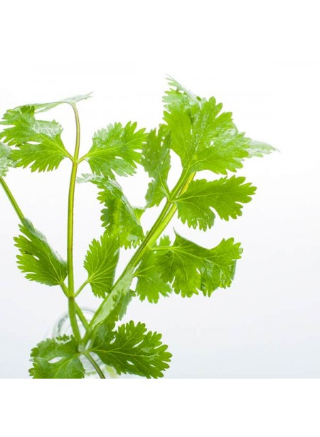 Organic Cilantro Flavor Concentrate Without Diacetyl