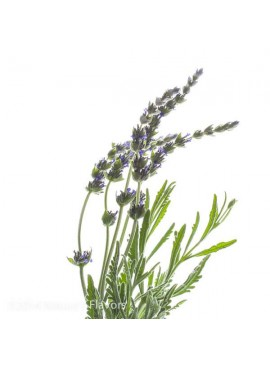 Sante Lavender (French) Essential Oil