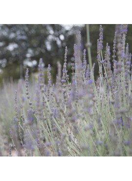 Organic English Lavender Fragrance Oil (Vegan, Oil Soluble)