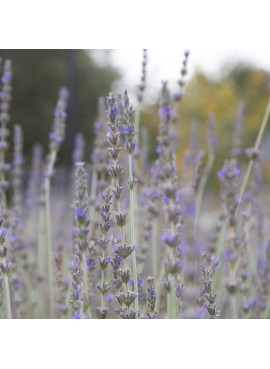 Organic Lavender Fragrance Oil (Vegan, Oil Soluble)