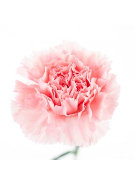 Carnation Fragrance Oil (Vegan, Oil Soluble)