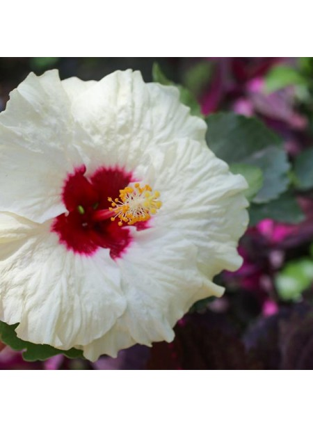 Hibiscus Flavor Extract Without Diacetyl