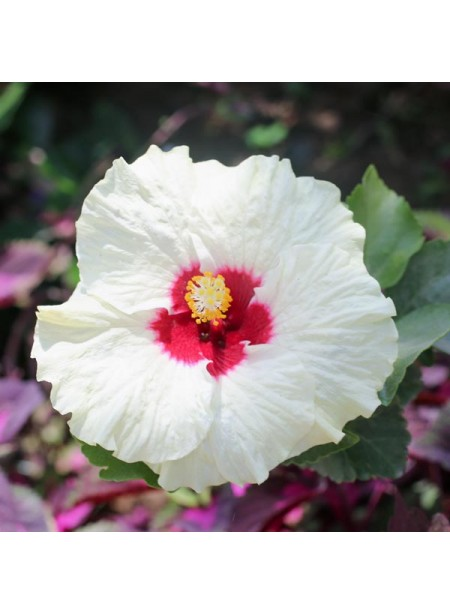 Hibiscus Flavor Extract Without Diacetyl, Organic