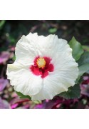 Organic Hibiscus Flavor Extract Without Diacetyl