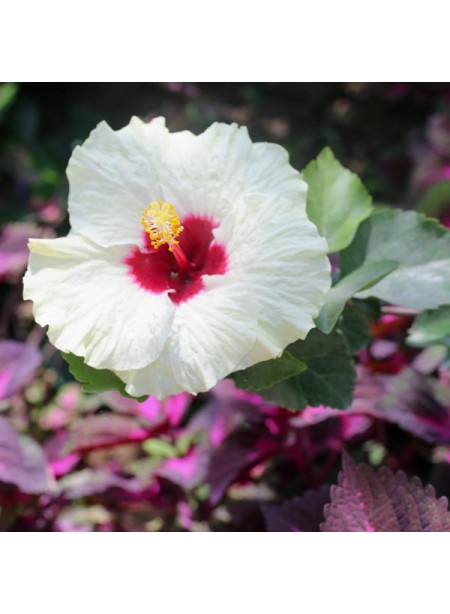 Organic Hibiscus Fragrance Oil (Alcohol Soluble)