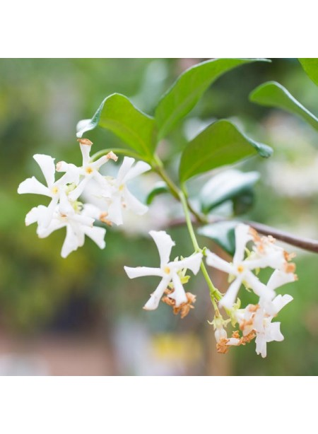 Jasmine Flavor Extract Without Diacetyl, Organic