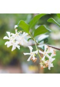 Organic Jasmine Flavor Extract Without Diacetyl