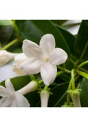 Organic Jasmine Flavor Concentrate Without Diacetyl