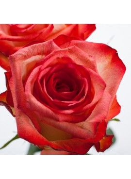 Organic Victorian Rose Fragrance Emulsion (Water Soluble)