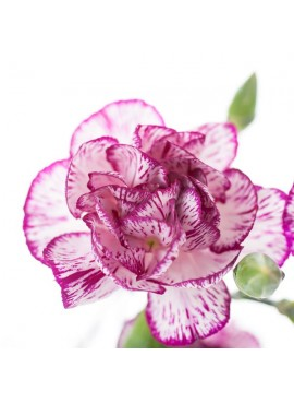 Carnation Fragrance Emulsion (Water Soluble)