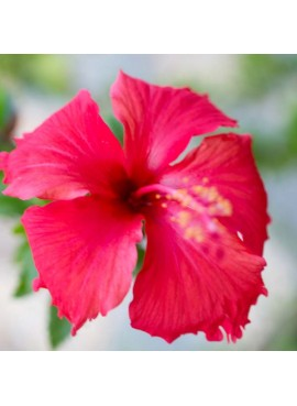 Hibiscus Flavor Oil for Lip Balm, Organic