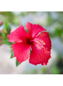 Hibiscus Concentrate Food Coloring Organic (Red Color)