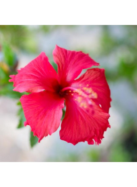 Organic Hibiscus Coffee and Tea Flavoring