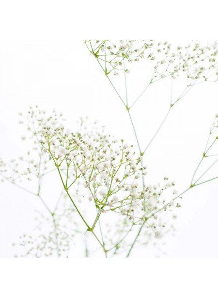 Baby's Breath Fragrance Oil (Alcohol Soluble)